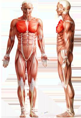 Цель: Грудные мышцы