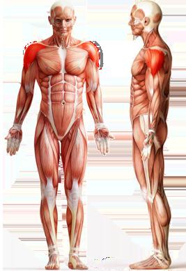 Цель: Дельтовидные мышцы