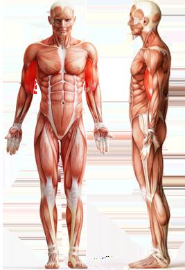 Цель: Бицепс (двуглавая мышца)