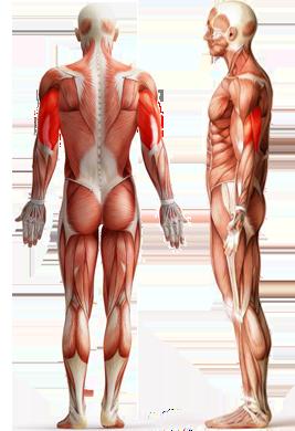Цель: Трицепс (трехглавая мышца)