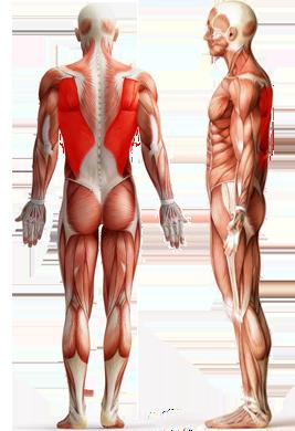 Цель: Широчайшие мышцы спины